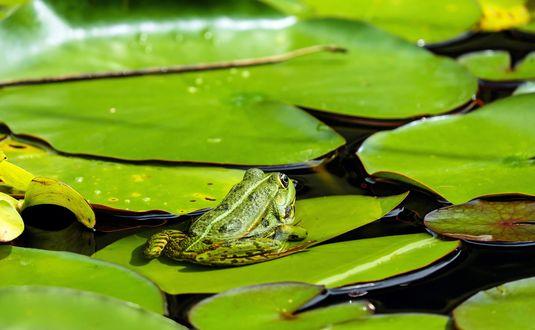 Обои Лягушка сидит на листке кувшинки в пруду в окружении других листьев