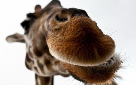 Обои Морда жирафа вблизи