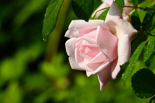 Обои Нежно-розовая роза в каплях на размытом зеленом фоне