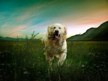 Обои Белый пес в траве, фотограф Серега Сергеев
