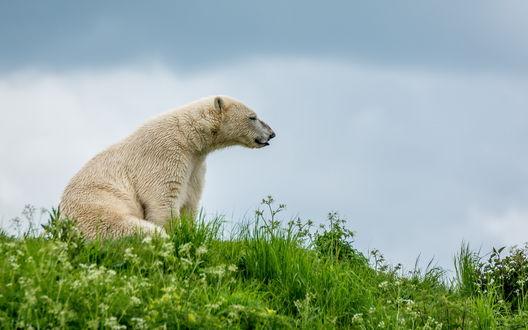 Обои Белый медведь сидит на зеленой траве
