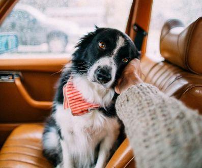 Обои Мужчина гладит собаку, сидящую на переднем сиденье автомобиля, фотограф Эндрю Кнапп
