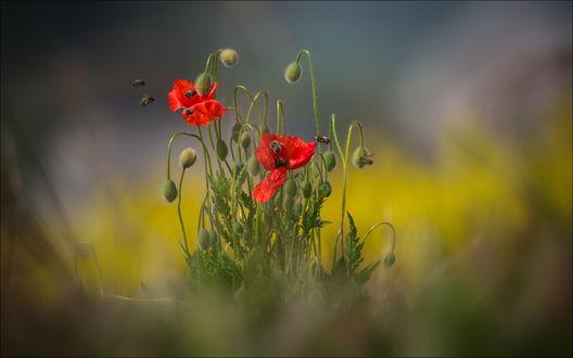 Обои Два высоких красных мака с бутонами и, летающими вокруг пчелами, среди размытой зелени, фотограф Влад Соколовский