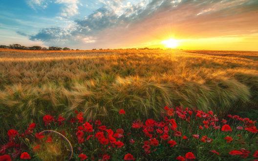 Обои Красные маки на краю желтого пшеничного поля в свете закатного солнца, фотограф Алексей Дранговский