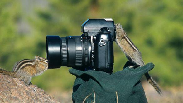 Обои Смешные зверьки бурундуки исследуют оставленный кем-то фотоаппарат