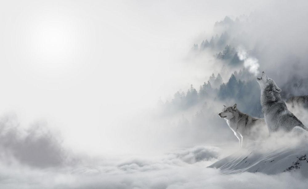 Обои для рабочего стола Два волка сидят на снегу на возвышенности, внизу стелется туман