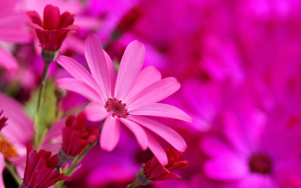 Ярко розовые цветы