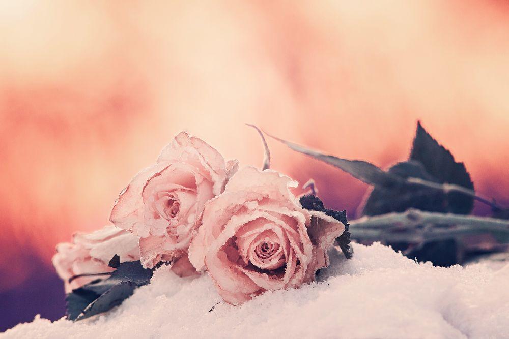 розовые розы на снегу фото недорогой