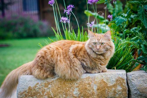 Обои Рыжая кошка породы мэйн кун, лежит на камне, на фоне цветов и листьев