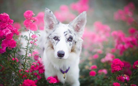 Обои Собака сидит среди цветущих кустов роз