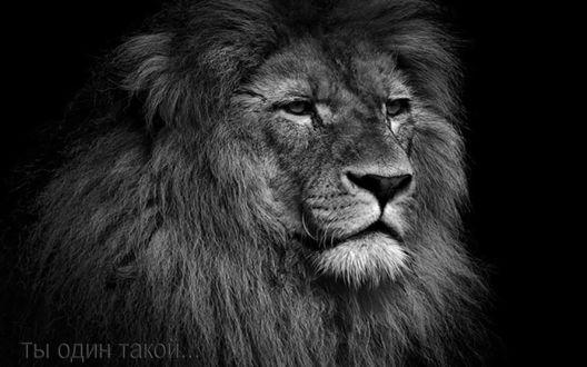 Фото черно белое львы 5