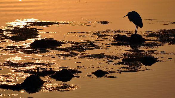 Обои Цапля стоит на затопленном побережье на закате