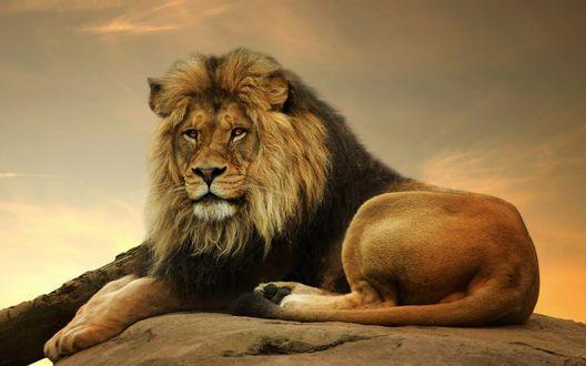 обои в виде льва