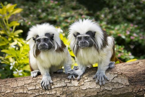 Обои Две обезьянки эдиповые тамарины, сидят на поваленном стволе дерева