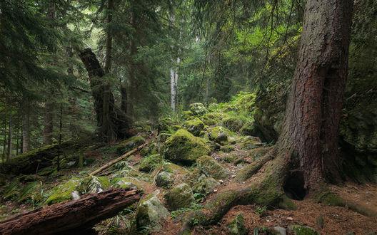 Обои Дремучий еловый лес с крупнми камнями, поросшими мхом, фотограф Смилык Павел