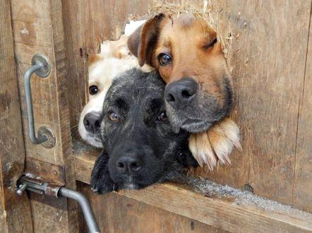 Обои Три собаки, желая поприветствовать хозяев, заглядывают через дыру в деревянной двери