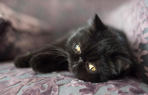 Обои Черный котенок с золотыми глазами, лежит на боку