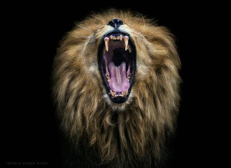 Обои Лев с открытой пастью, фотограф Pedro Jarque Krebs