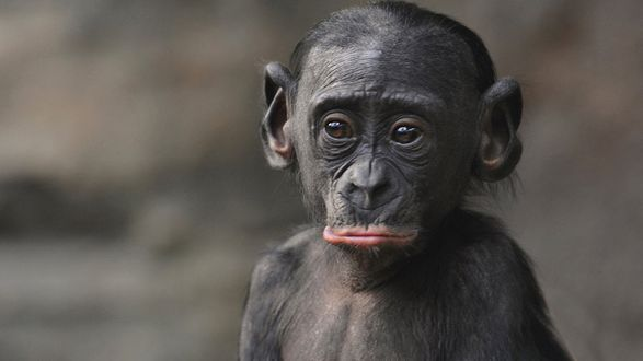 Обои Бонобо / Bonobo или карликовый шимпанзе / Pan paniscus на размытом фонеhttp://www. nationalgeographic. de / reportagen / fotostrecke-menschenaffen-portraitiert-von-jutta-hof? imageId=6