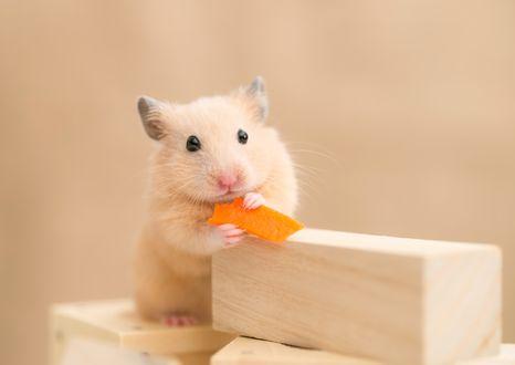 Обои Хомяк кушает морковку облокотившись на брусок