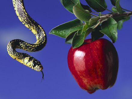 Обои Райское яблоко и змей-искуситель на синем фоне
