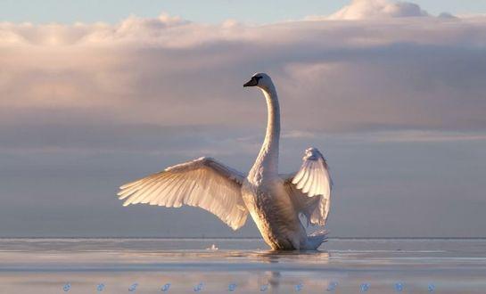 Обои Лебедь на озере, by scifilicious