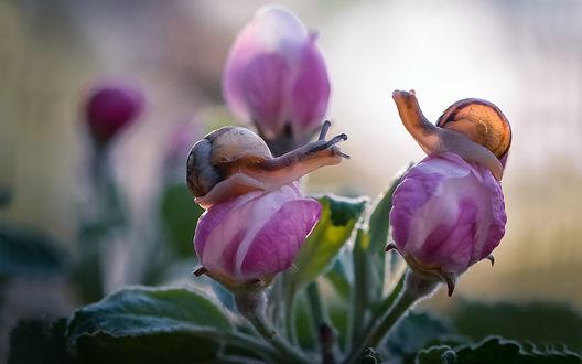 Обои Две улитки на розовых бутонах нераспустившейся веточки, фотограф Мищенко Вячеслав