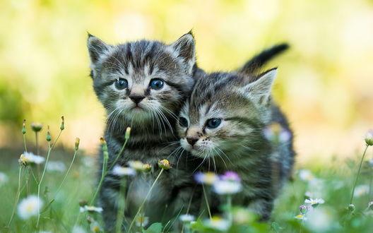 Обои Полосатые котята стоят в траве среди ромашек