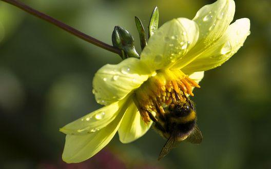 Обои Шмель сидит на желтом цветке георгина