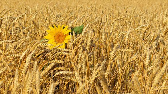 Обои Одинокий подсолнух среди пшеничного поля