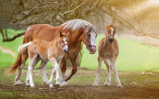 Обои Рыжая лошадь с белой гривой и два ее жеребенка гуляют под деревьями, by Lukasz Dobkowski