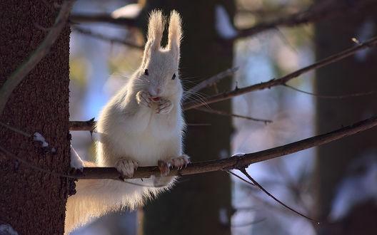 Обои Белая белочка сидит на ветке дерева, фотограф Алексей Горохов