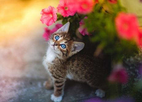 Обои Голубоглазый котенок стоит у цветов, фотограф Коротун Юрий