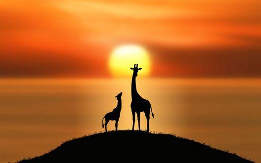 Обои Жирафы стоят на холме, на фоне заката