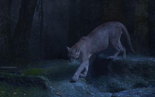 Обои Львица, крадущаяся по каменистой тропе, через ночной лес, by duong quoc dinh