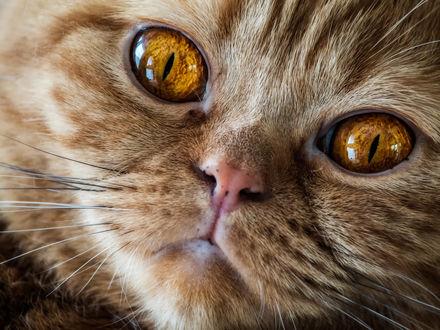 Обои Мордочка кота с желтыми глазами