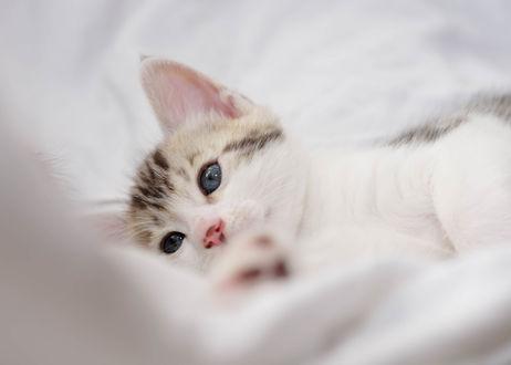 Обои Голубоглазый маленький котенок