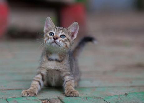 Обои Маленький серый котенок лежит на дороге, фотограф Коротун Юрий