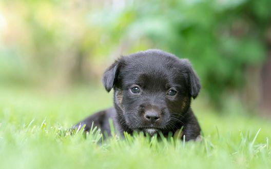 Обои Черный щенок лежит на зеленой траве