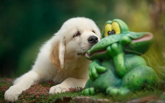 Обои Щенок золотистого ретривера лежит возле фигурки садовой лягушки