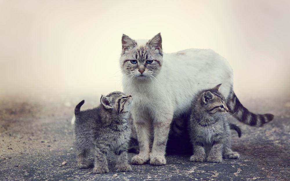 Обои для рабочего стола Кошка с котятами