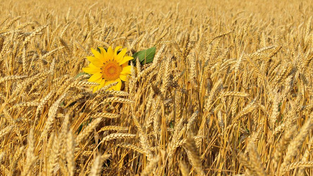 Рисунки пшеничного поля