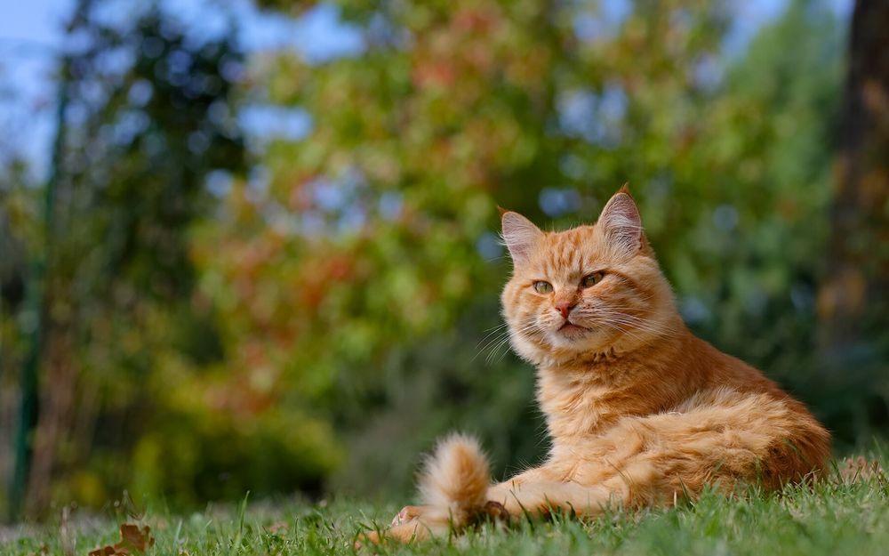Обои для рабочего стола Бело-рыжий кот лежит на зеленой траве