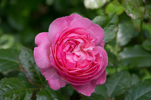 Обои Розовая роза с листьями, фотограф Marco Verch
