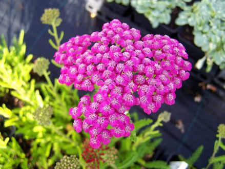 Обои Красивый куст цветов Achillea Розовый