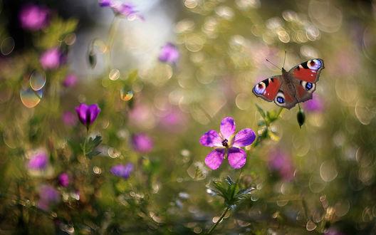 Обои Бабочка и цветы луговой герани на размытом фоне с блестками боке, фотограф Свистков Александр