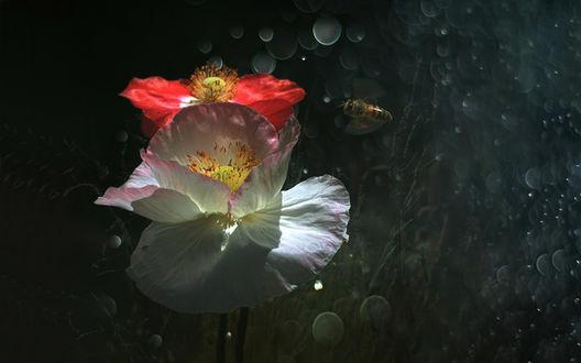 Обои Ярко освещенные, белый и красный мак, с летающей рядом пчелой, на черном фоне с эффектом боке, фотограф Вероника Бабенко