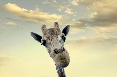 Обои Морда жирафа на фоне неба и облаков