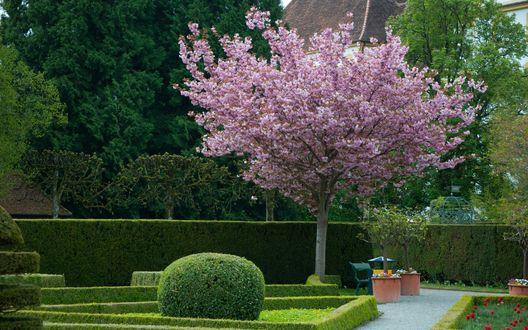 Обои Розовое цветущее дерево в зеленом парке