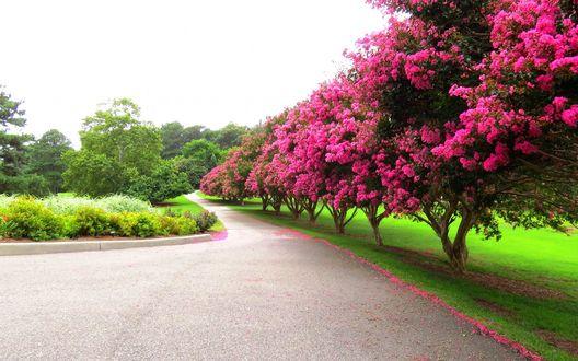 Обои Весенние цветущие деревья, растущие вдоль дороги, и сбрасывающие на нее розовые лепестки